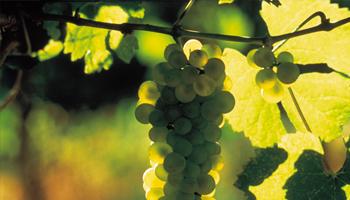 Struguri de vin