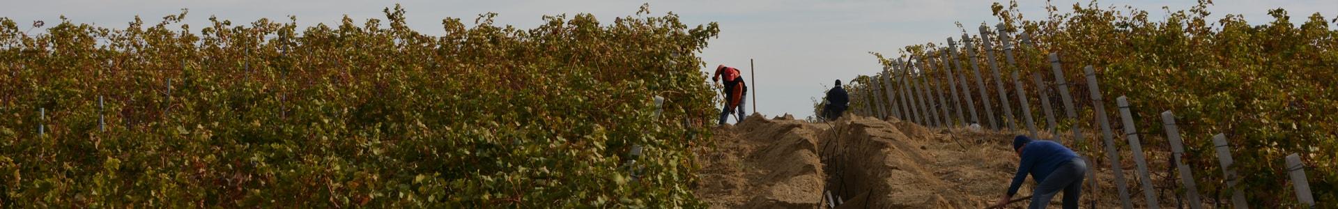 viticultura img mare